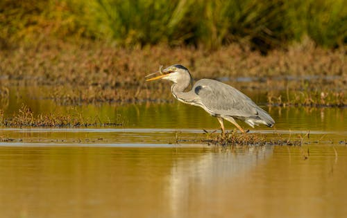 Wild heron on water surface