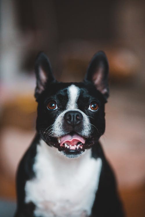Cute small Boston Terrier with white spots on chest and face sitting against blurred background with opened mouth and tongue