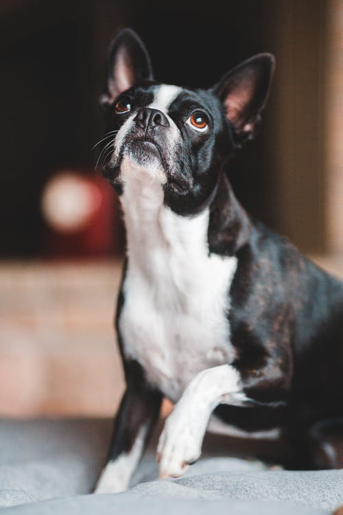 Curious black Boston Terrier with white paws sitting on comfortable couch and looking up against blurred background in cozy room