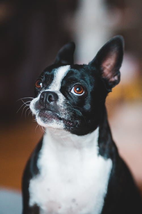 Cute dog with white chest sitting against blurred background and looking up with interest while spending time in cozy room