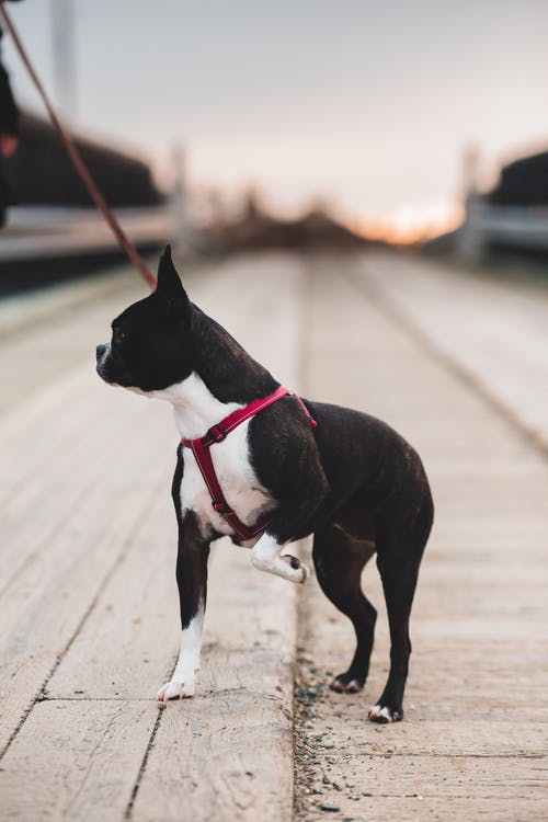 Side view of small Boston Terrier stepping over barrier on city street during sundown time in evening while looking away