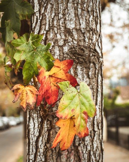 Green and Orange Maple Leaf on Tree Trunk