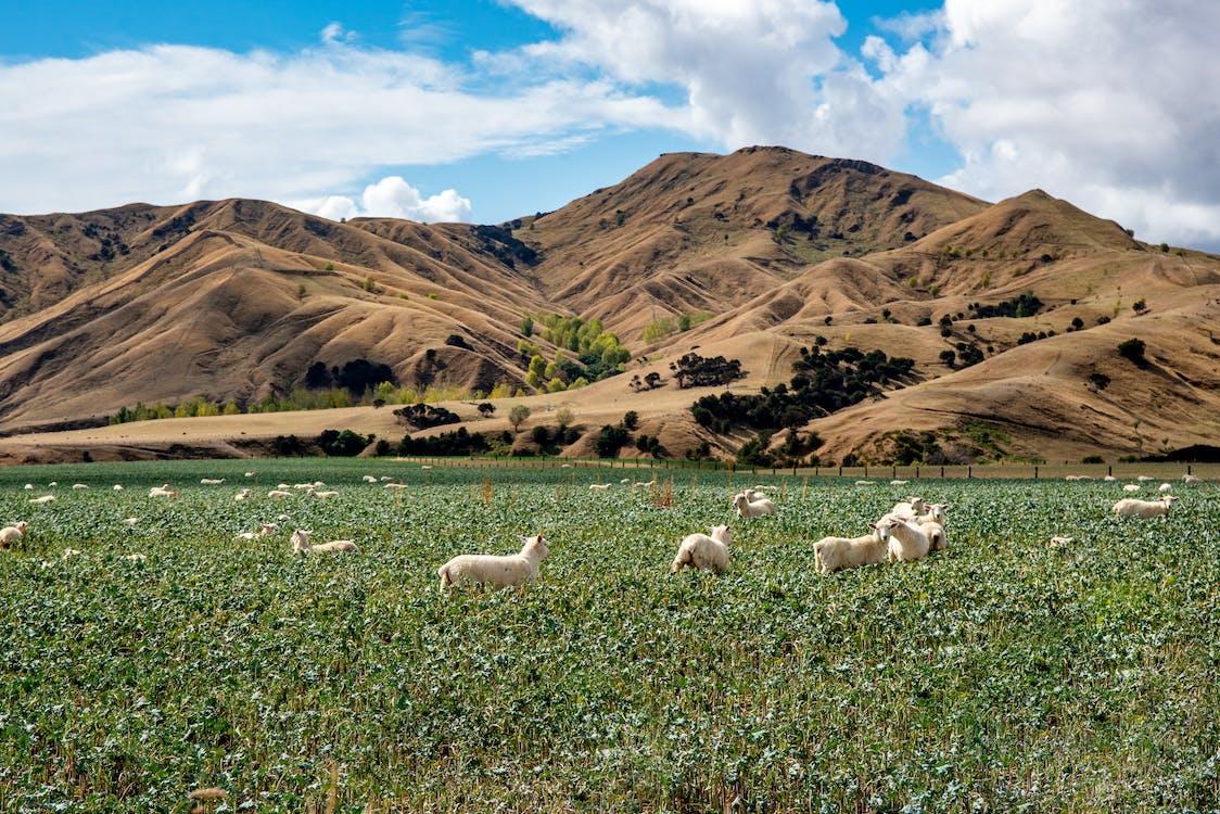White Sheep on Green Grass Field Near Brown Mountain Under Blue Sky