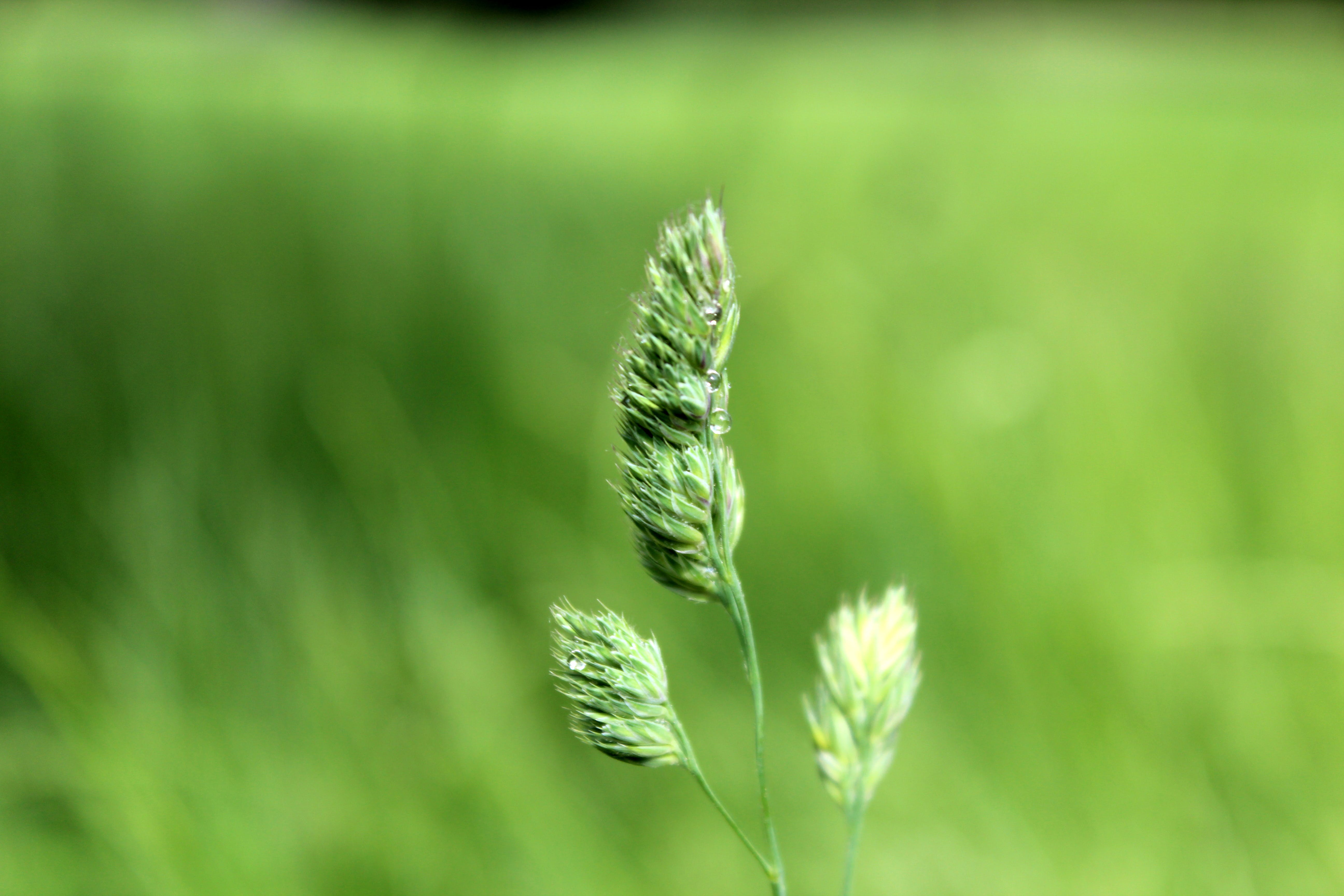 Free stock photo of grass, plant, seed heads