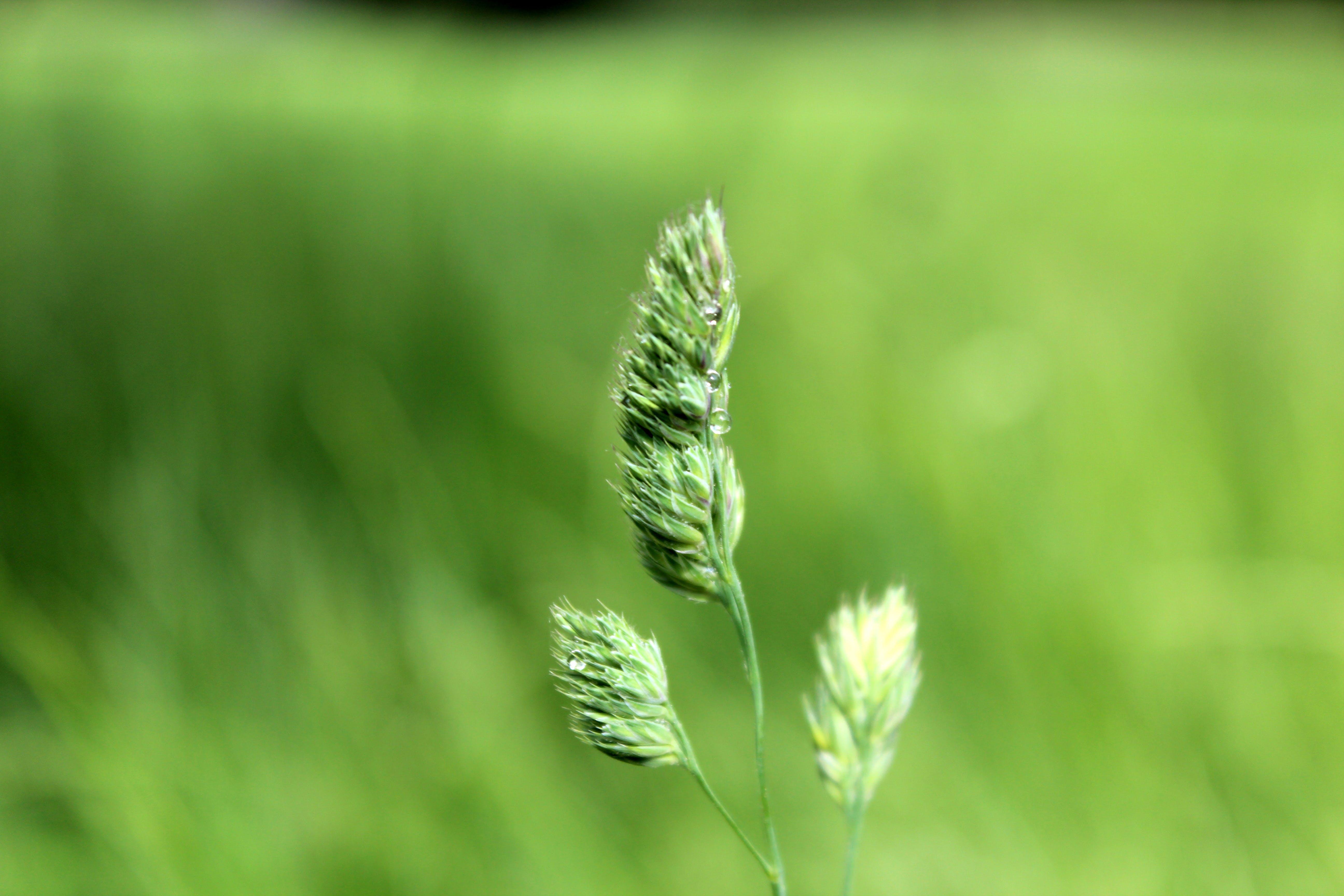 Macro Photography of Green Crowfoot Grass Flower