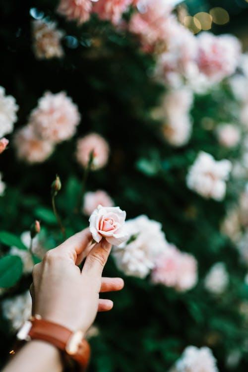 Imagine de stoc gratuită din a crescut bud, aranjament floral, arc