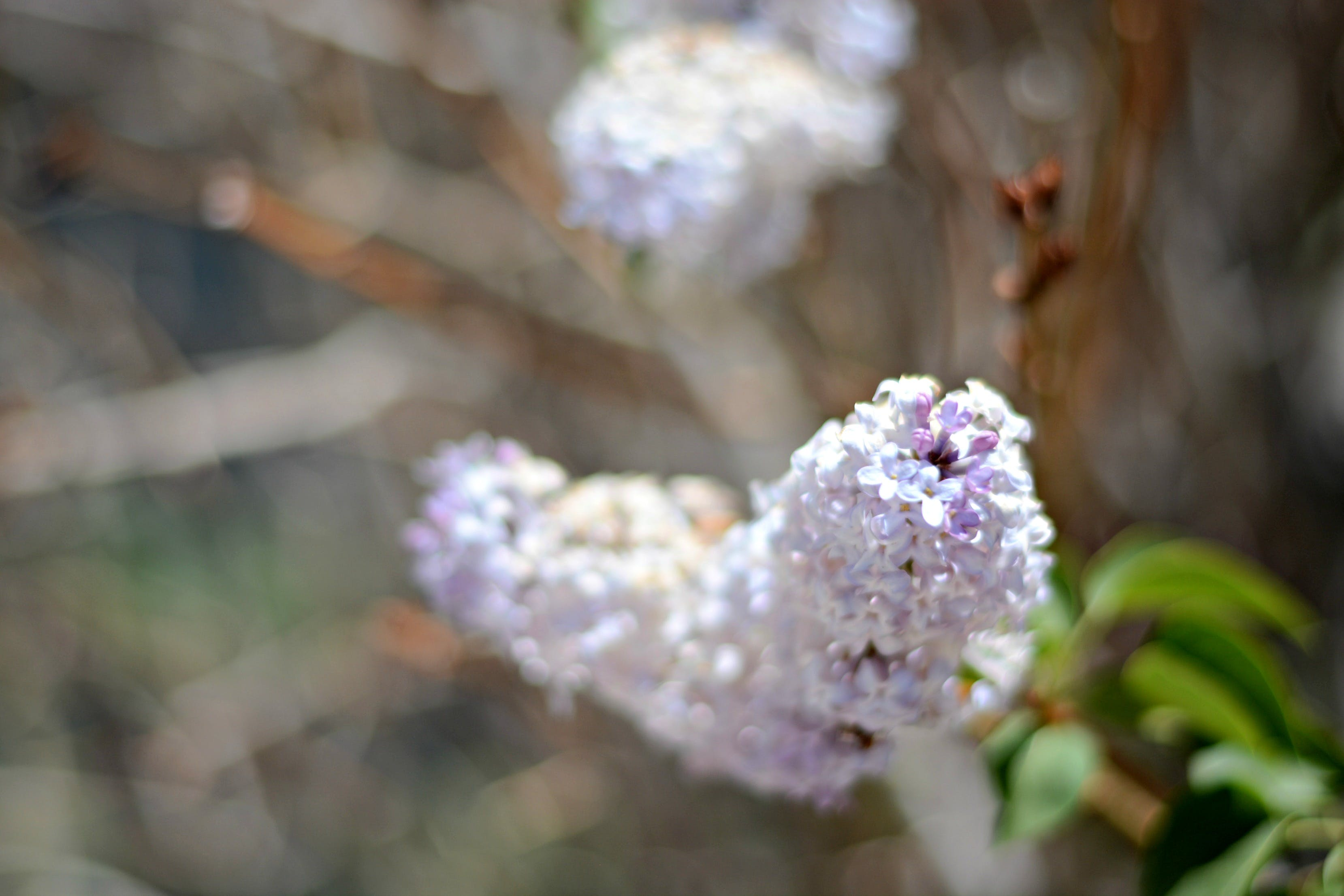 Free stock photo of flowers, purple, spring, lilac
