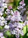 purple, spring, flower