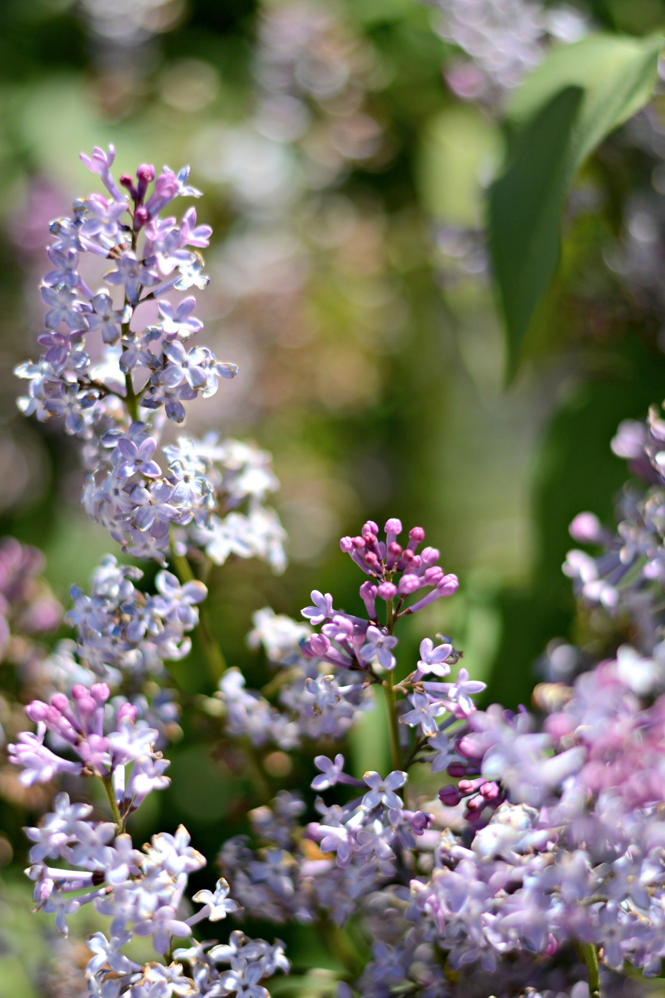 Free stock photo of flowers, purple, bokeh, lilac