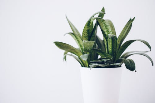 Green Aloe Vera Plant in White Pot