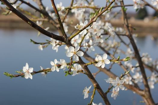 Free stock photo of branches, cherry blossom