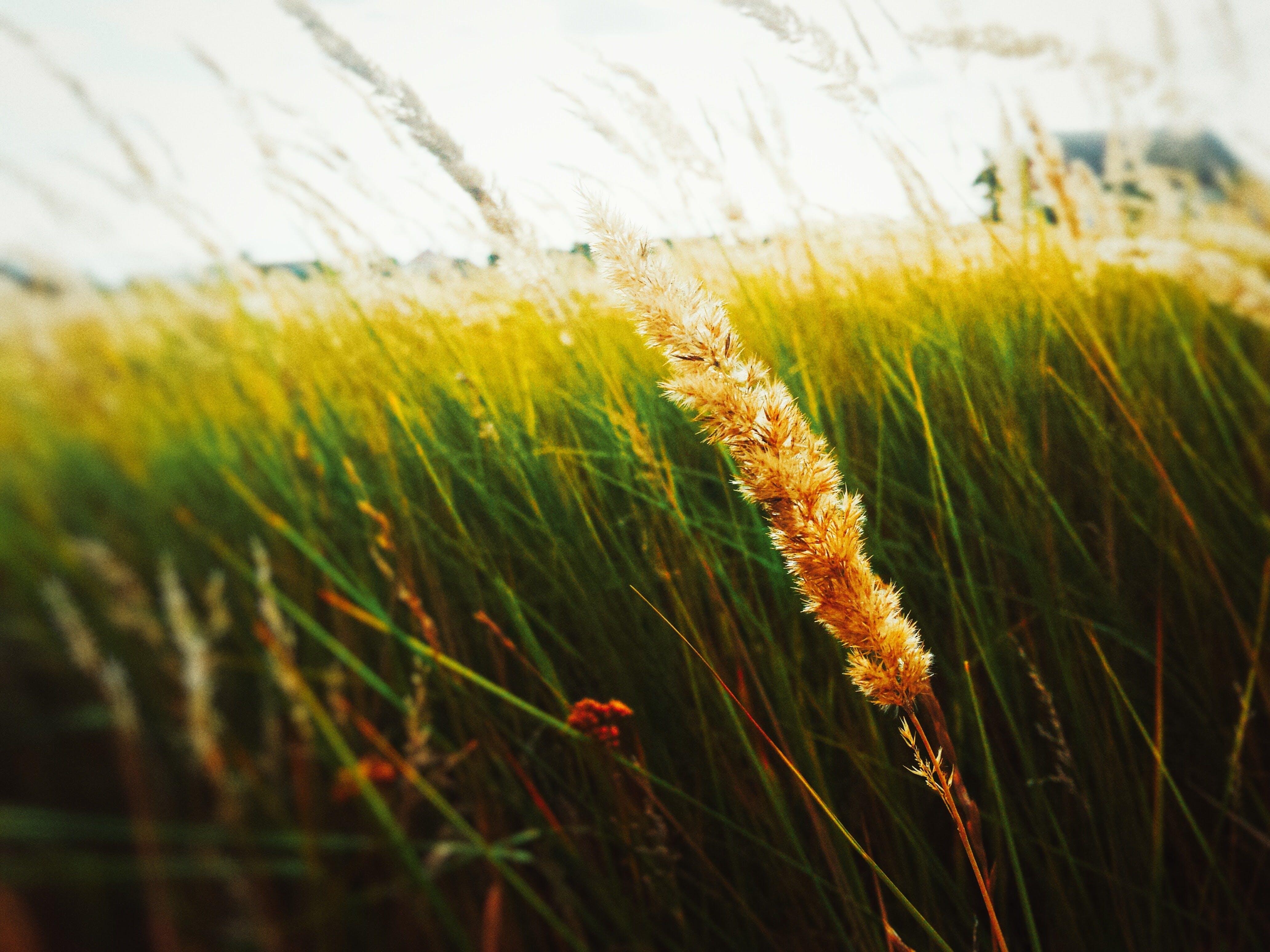 Free stock photo of blur, ears, field, focusing