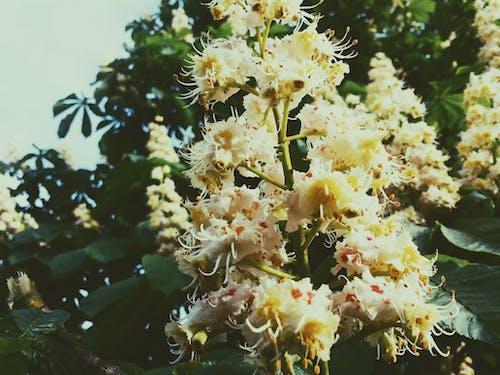 Fotobanka sbezplatnými fotkami na tému divoký gaštan, kvety, príroda, zeleň