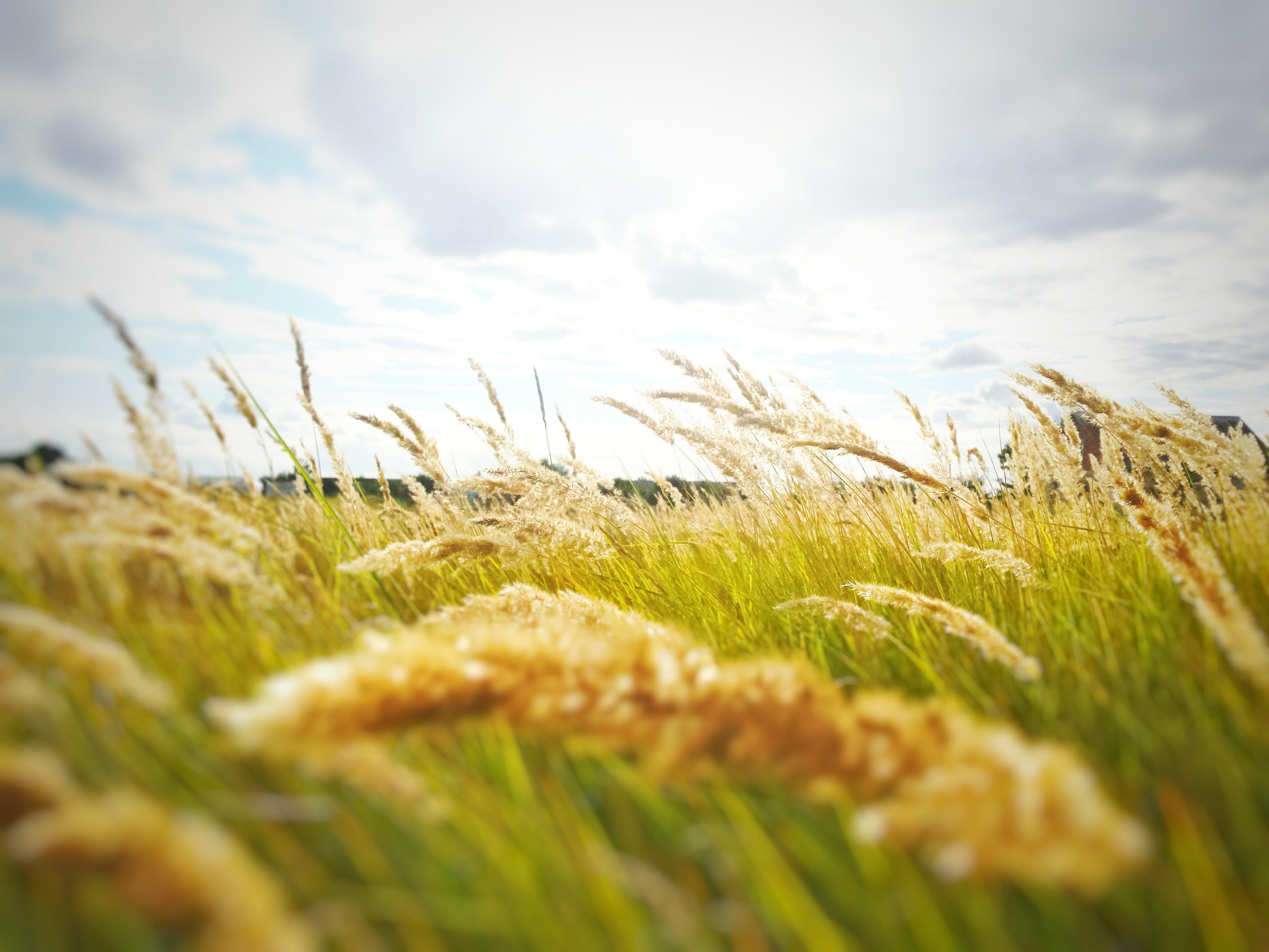 Kans Grass Under Cloudy Sky