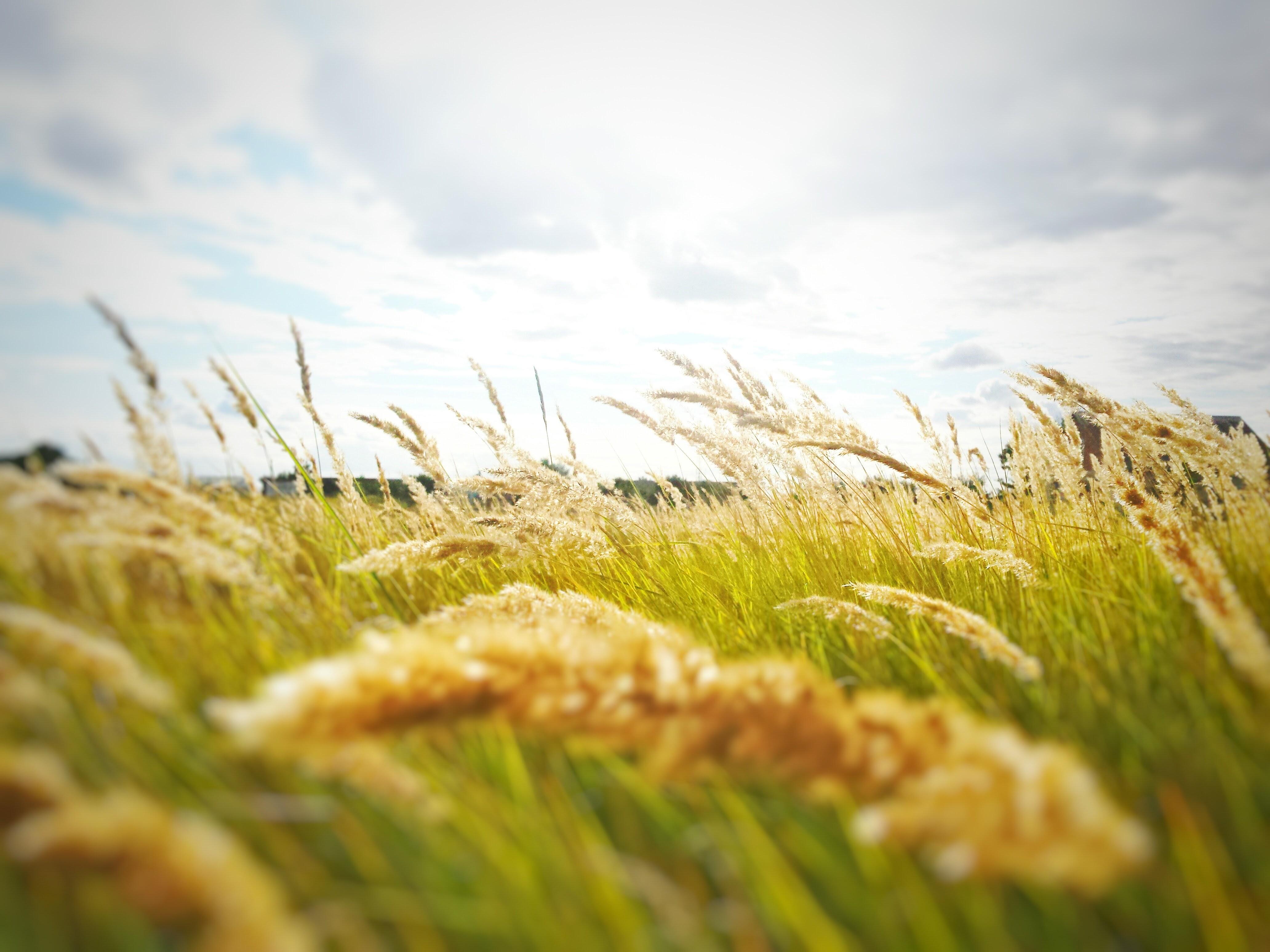 Rice Grain Grass Field 183 Free Stock Photo