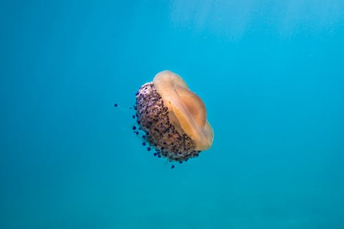 Brown and White Jellyfish in Blue Water