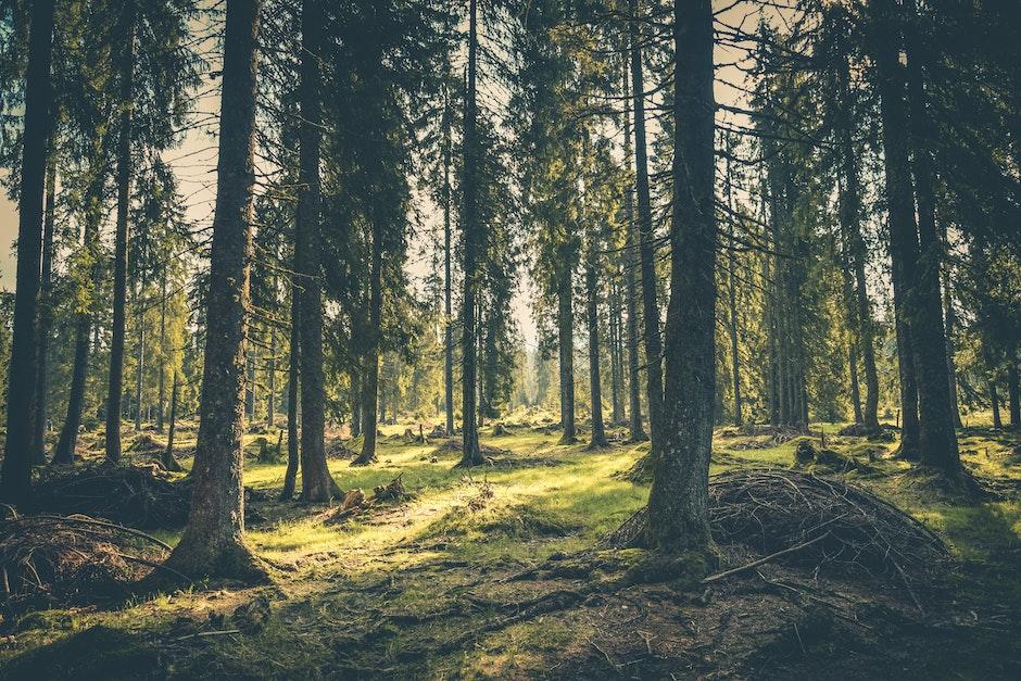 adventure, atmosphere, conifer