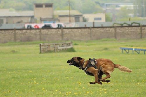 Безкоштовне стокове фото на тему «бельгійська вівчарка, малінуа, собака, спринт»