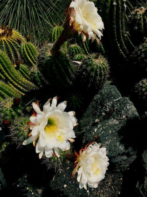 Free stock photo of cacti, cactus, cactus flower
