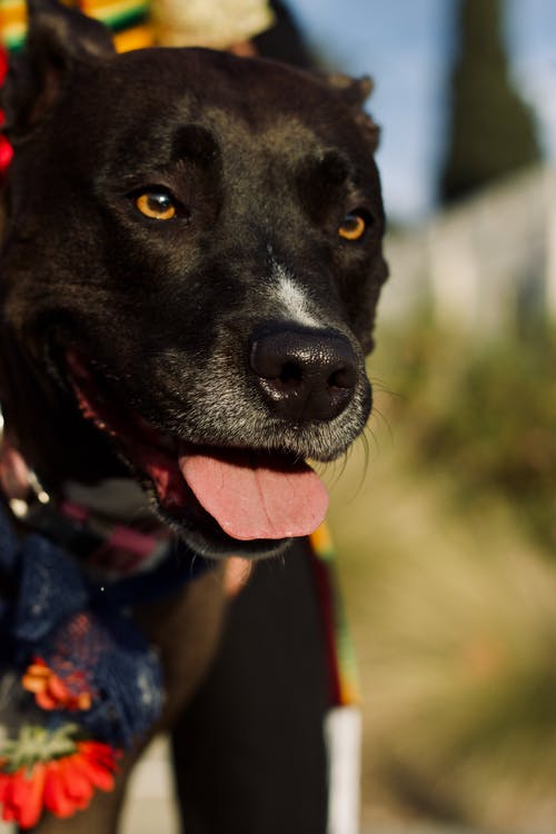 Free stock photo of dog photography, dog portrait, pitador
