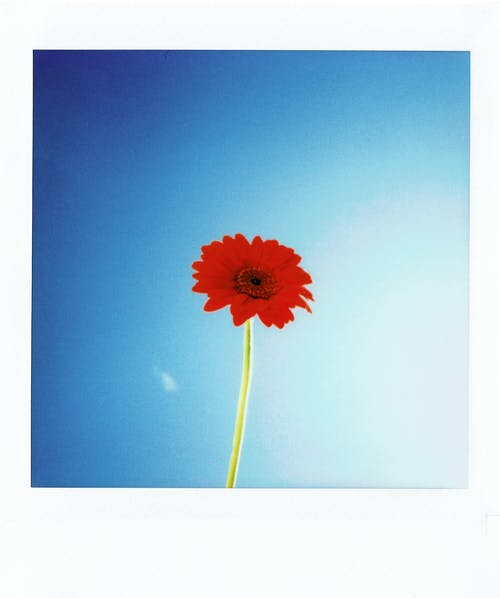 Red Flower in Blue Background