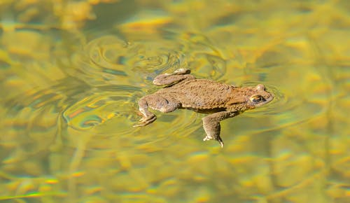 From above of true toad floating in clean water of lake on sunny day