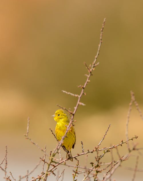 Adorable yellow Sicalis luteola bird sitting on tree branch