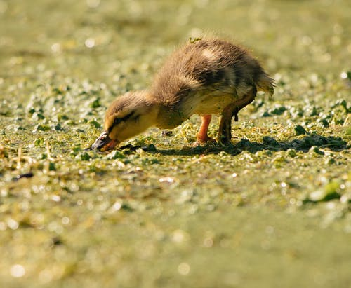 Adorable duckling feeding on wet grassy shore