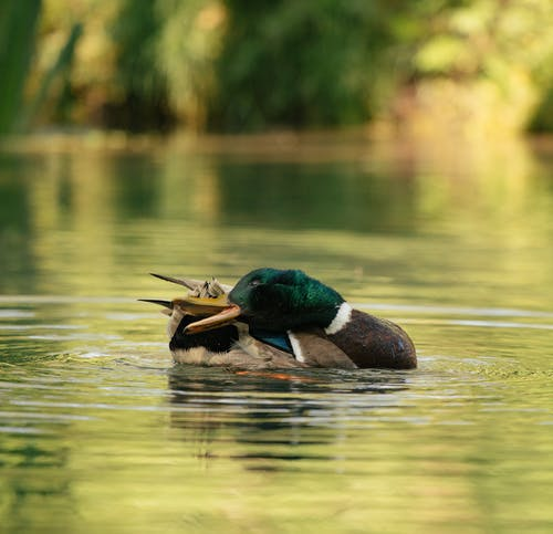 Graceful mallard floating in lake on sunny day