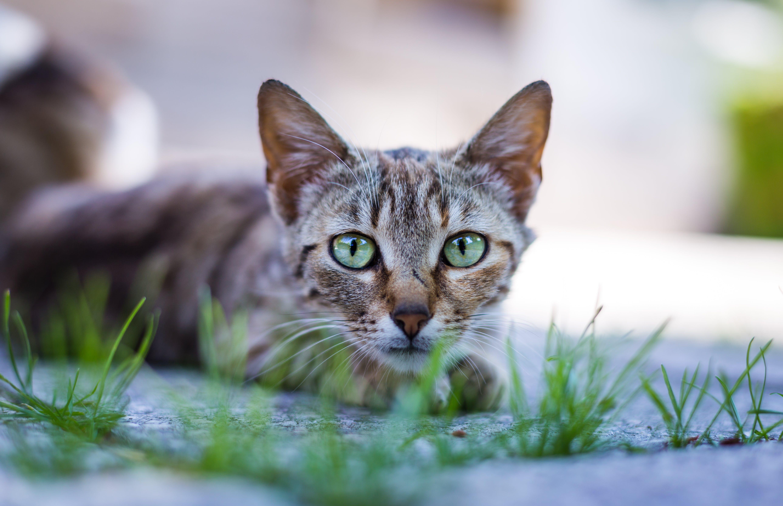 về cận cảnh, cỏ, con mèo, con vật