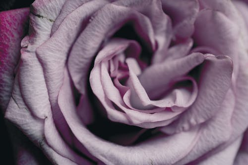 Free stock photo of close up, close-up focus, Pink Rose