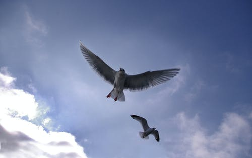 Free stock photo of Birds Seagulls Fly Blue sky