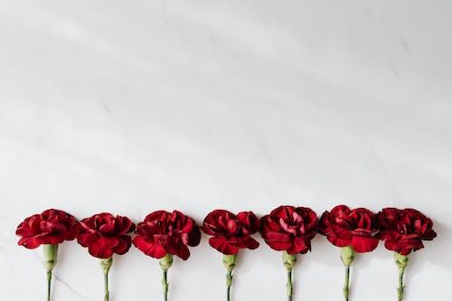 Fresh dark red carnations on white background