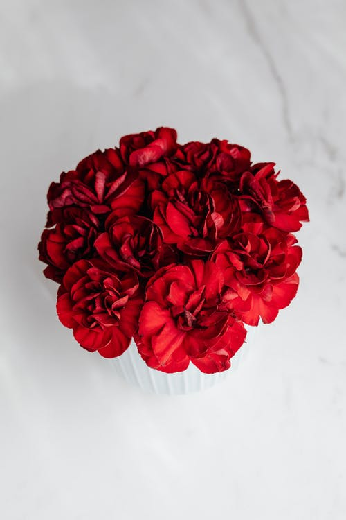Beautiful dark red flowers in pot on white table