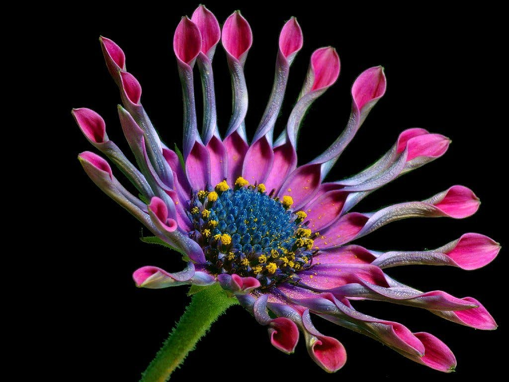 Macro Photography of Pink and White Multi Petaled Flower
