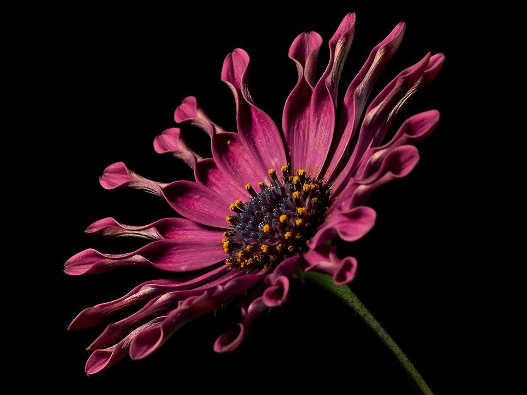 Red Spoon Daisy Close-up Photography