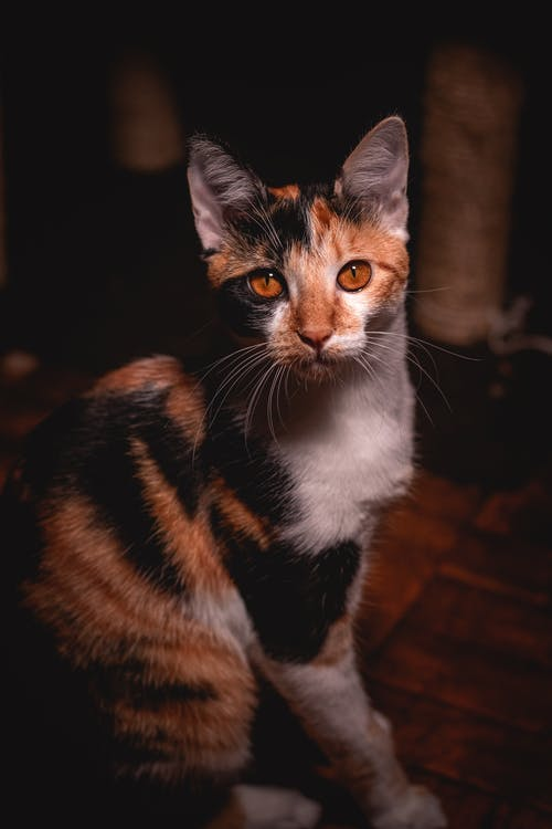 Brown White and Black Cat