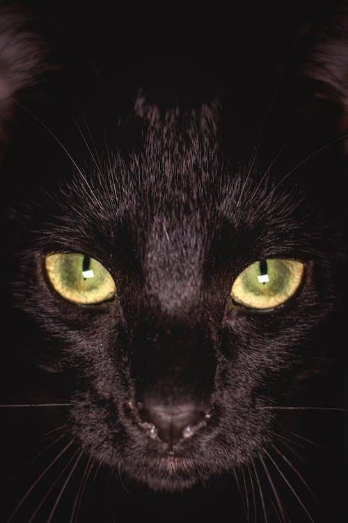 Free stock photo of animal, animals, black cat