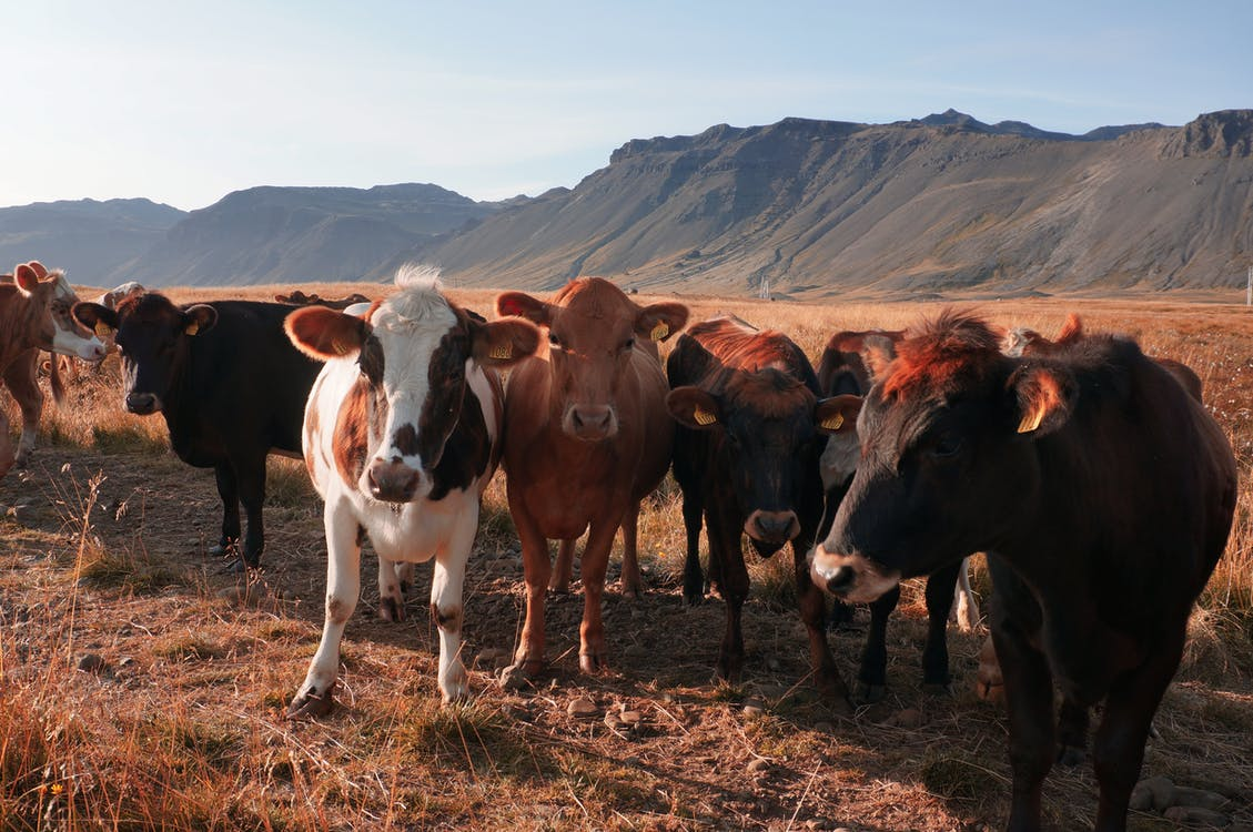 Cows on terrain with dry grass behind mounts standing in row under cloudy sky