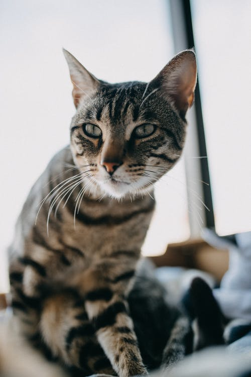 Adorable attentive cat with thin whiskers and stripes on fur looking away near window in house