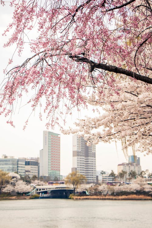 Pink Cherry Blossom Tree Near City Buildings