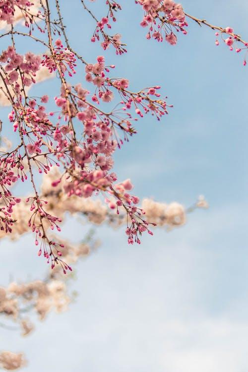 Fotobanka sbezplatnými fotkami na tému čerešňové kvety, čerešňový kvet, čerešňový kvet na pozadí, jar