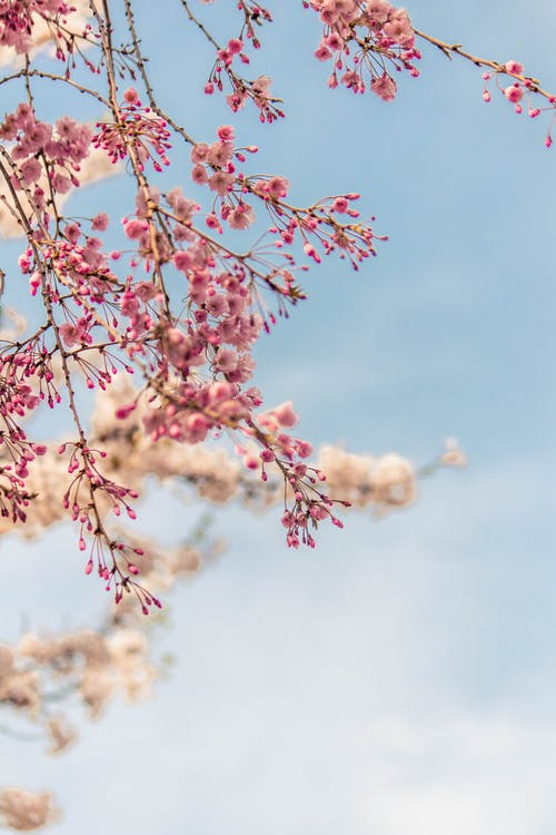 Pink Cherry Blossom and Blue Sky