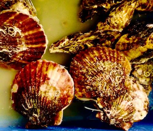 Free stock photo of scallop shells, scallops, seafood