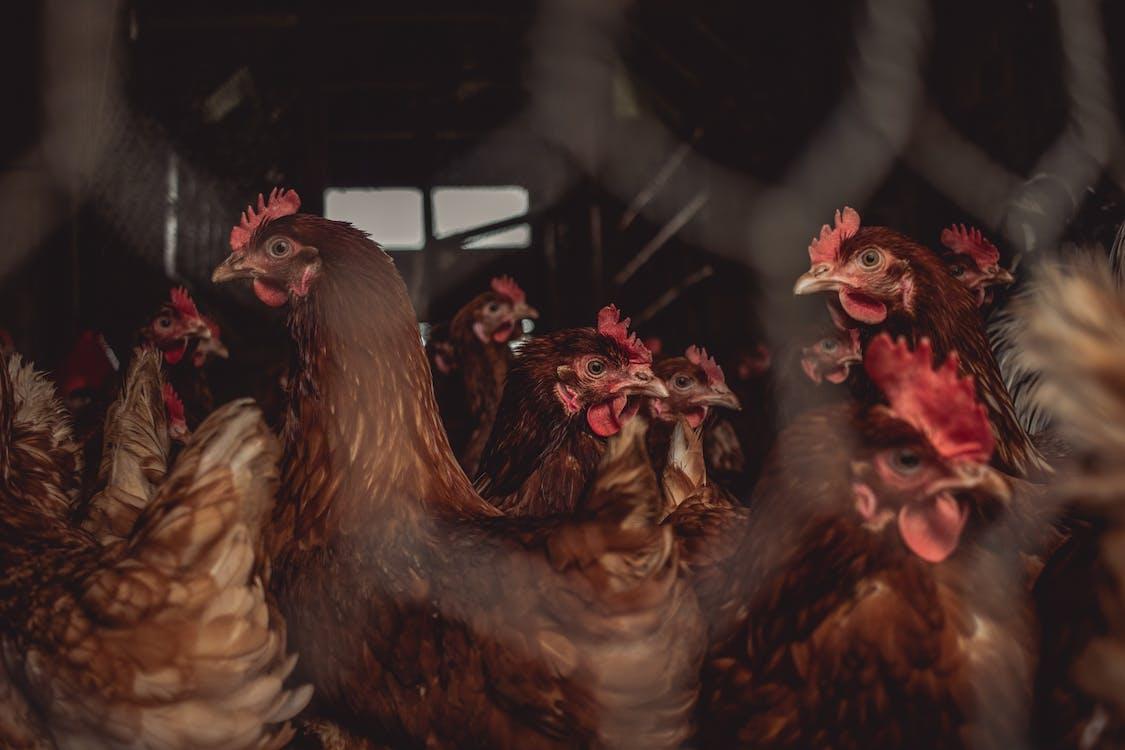 Imagine de stoc gratuită din activități agricole, agricultură, animal