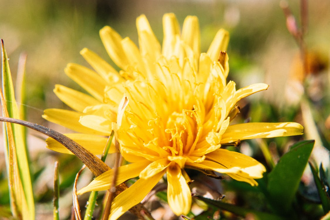 Closeup delicate dandelion flower with bright tender petals blooming on lush green meadow on sunny day