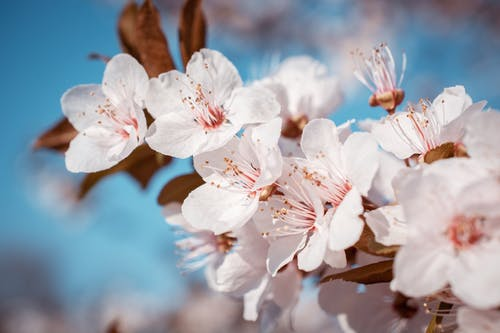 Free stock photo of cherry blossom, flowers, leaf, nature