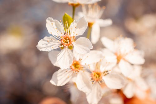 Free stock photo of cherry blossom, flower, leaf, nature