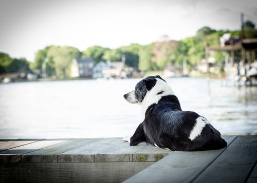 Free stock photo of bff, black and white, border collie, calm