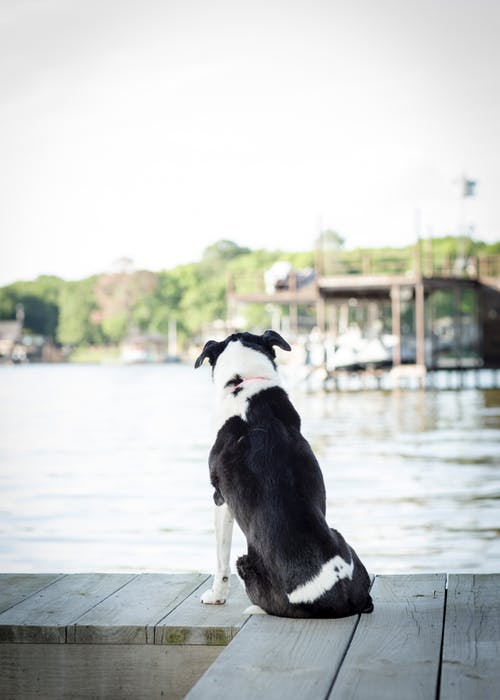Free stock photo of black and white, border collie, canine, dock